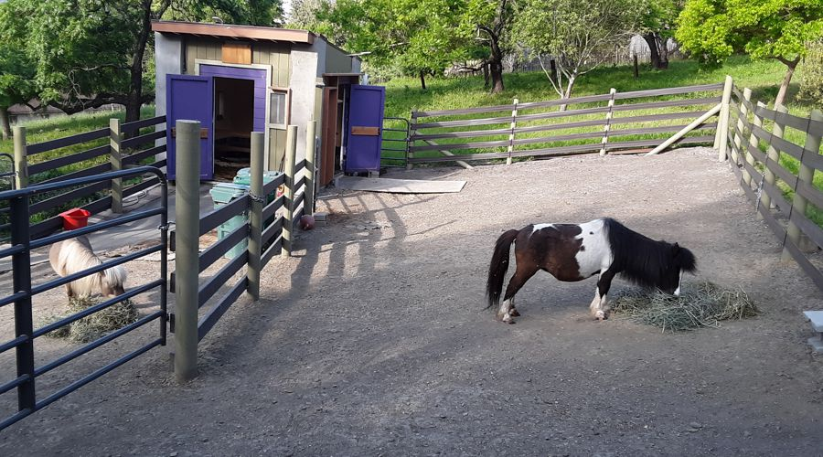 Miniature Horse Barn and Paddock Area for blind mini
