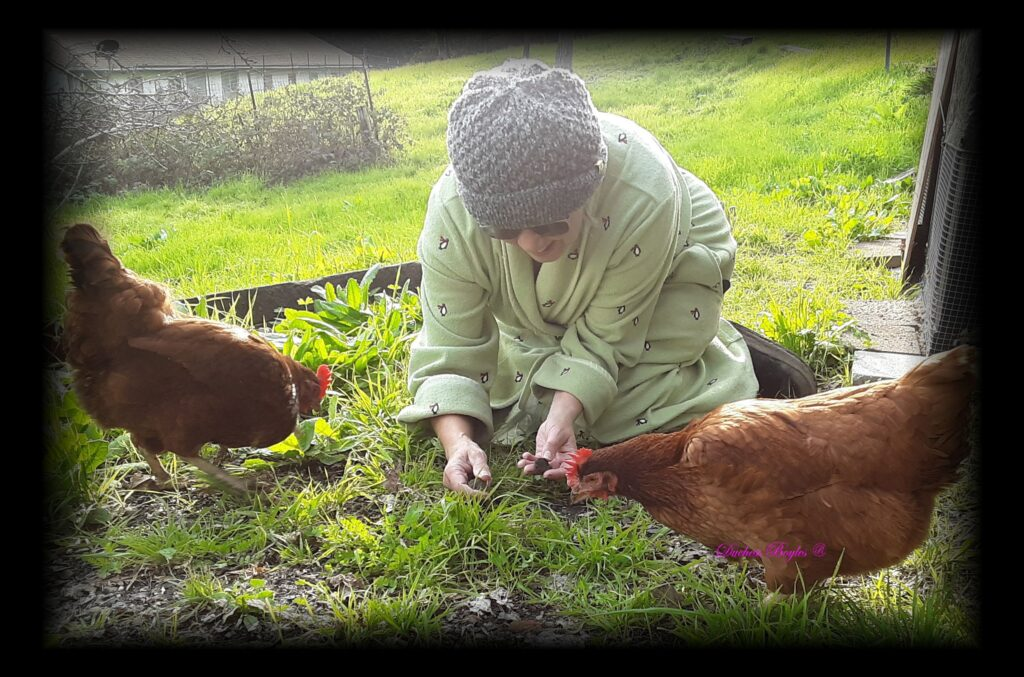 Our Rhode Island Red hens, Jewels and Charlotte have fun finding worms in the soft soil after a night of rain.